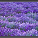 Lavender Workshop  July 19, 2011